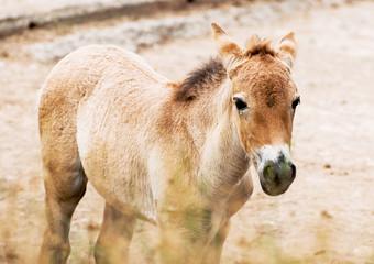 Przewalski's horse foal