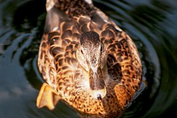 One mallard duck in the water