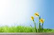 Obrazy na płótnie, fototapety, zdjęcia, fotoobrazy drukowane : Daffodil flowers in the field
