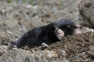 Europäischer Maulwurf / mole