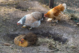 Chicken taking a dust bath