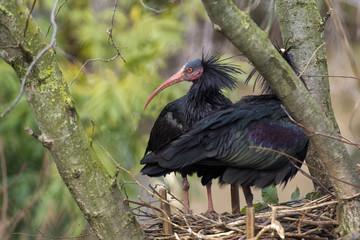 Ibis birds on a tree