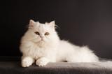 Fluffy white tomcat poster