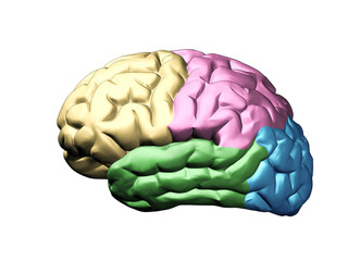 Brain model with the four lobes of the cerebral cortex