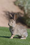 Cute Desert Cottontail Rabbit