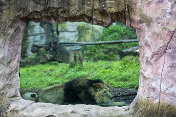 Male asian lion while looking at you at the zoo