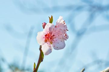 Gentle pink buds of Apple trees on blue sky