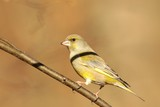 European Greenfinch (Carduelis chloris) on a twig