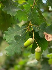 ghiande di farnia (Quercus robur)