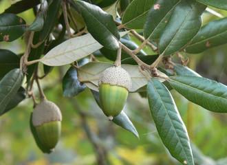 ghiande di leccio (Quercus ilex)