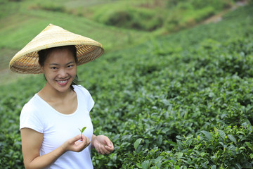 young chinese woman picking tea leaves