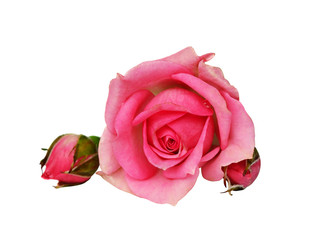 Pink rose flower and buds