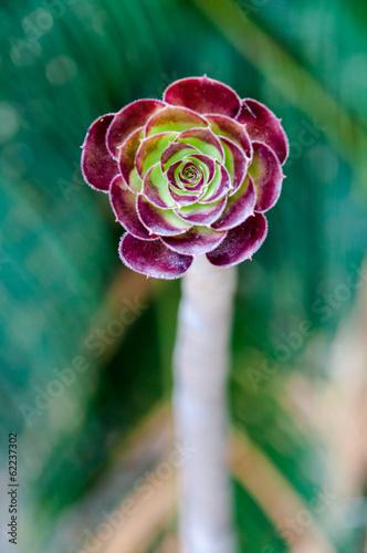 Papiers peints Cactus Aeonium simsii at Montjuic cactus garden at Barcelona