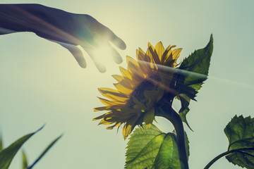 Sunburst over a sunflower with a hand touching it