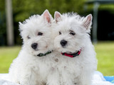 Two small puppies on a white background