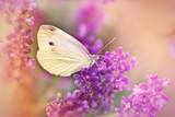 White butterfly on lavender
