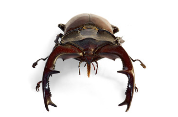 large male of stag beetle (Lucanus cervus) in frontal view