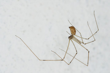 house spider (Pholcus)