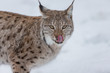 European Lynx in the snow licking lips
