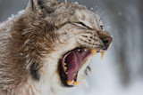 European Lynx in the snow with mouth open showing teeth