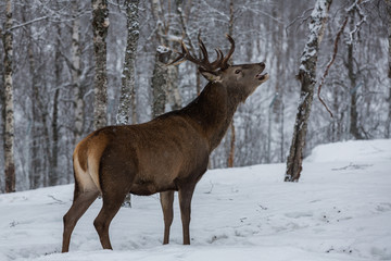 Deer stag calling out in forest
