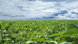 Alfalfa Field with Clouds Timelapse