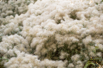 white fuzz on the tree in nature