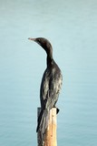 little cormorant bird standing on the wood