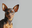 Постер, плакат: Miniature Pinscher