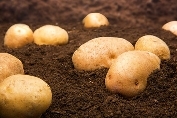 Potatoes on the ground outdoors