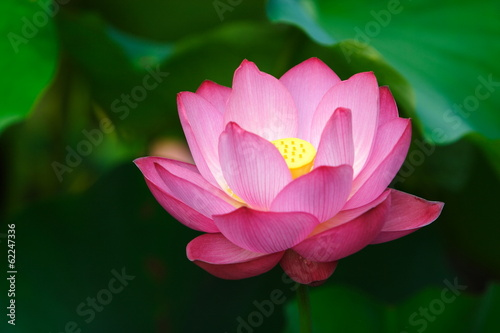Foto op Canvas Lotusbloem 蓮の花