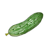 Watercolor Cucumber isolated on white, vector image