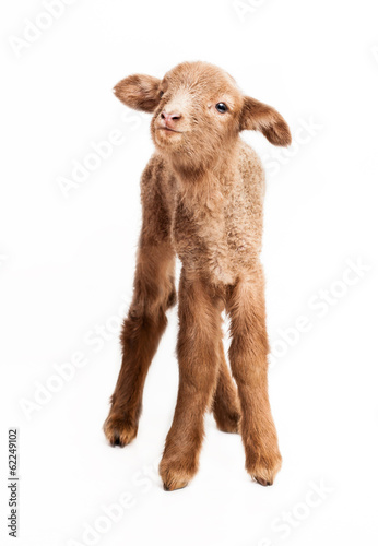 Baby lamb isolated on white background