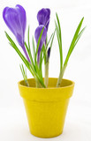 Purple crocus in yellow pot isolated on white background