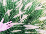 Close up of hand touching golden grass