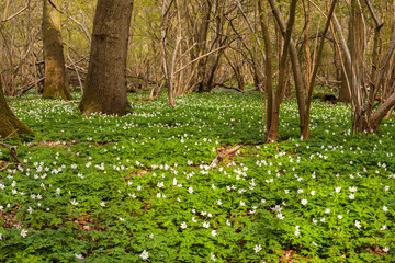 Carpet of Wood Anemone