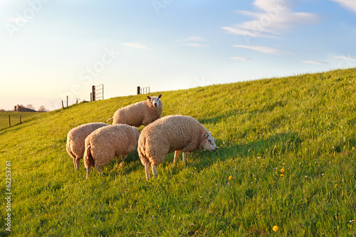 sheep grazing on green spring pasture