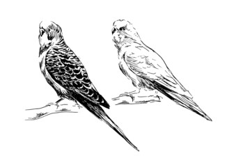Hand drawing budgies. Vector illustration