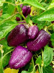 purple sweet peppers