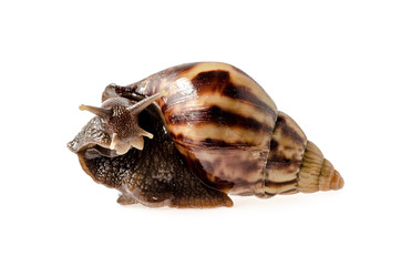 Garden snail isolated on white. : Clipping path included