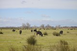 View of a group of Camargue bull (Taureau de Camargue ) - France
