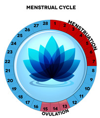 Menstrual cycle chart, menstruation and ovulation