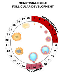 Menstrual cycle graphic, detailed follicular development