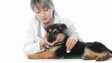 veterinarian examines a German Shepherd puppy