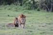 lions mâles