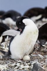 Adelie Pinguin mit Ei