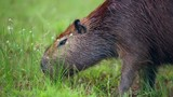 Capybara grazing on fresh green grass in Pantanal, Brazil