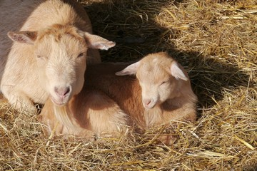 Mother and child goat in the straw of a stable