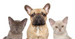 French bulldog and two kittens