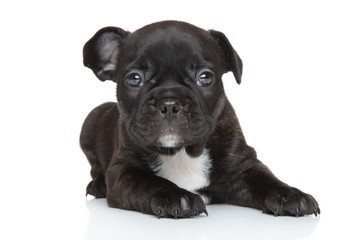 French bulldog puppy close-up portrait